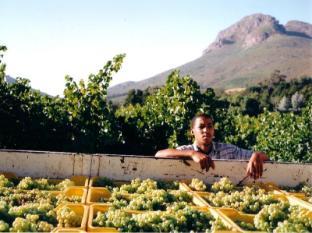 Dornier Homestead Stellenbosch - Harvest at Dornier